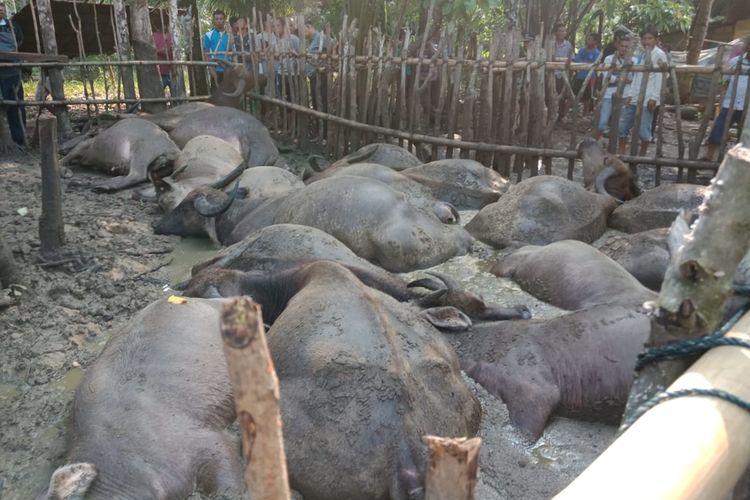19 ekor ternak kerbau mati tersambar petir di Dusun II, Desa Urutan, Kecamatan Andam Dewi, Tapanuli Tengah, Senin (19/8/2019) dan menjadi tontonan warga.  Selain kerbau, seorang warga juga tewas karena petir di saat yang sama.