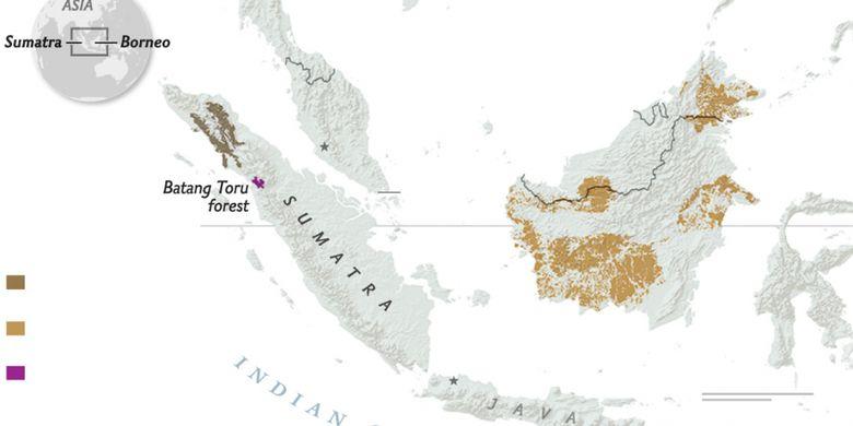 Persebaran Orangutan Sumatera, Kalimantan, dan Tapanuli. Warna coklat tua: Orangutan Sumatera (Pongo abelii); coklat muda: Orangutan Kalimantan (Pongo pygmaeus); ungu: Orangutan Tapanuli (Pongo tapanuliensis).