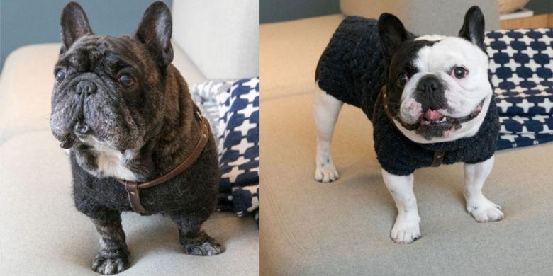 Anjing lucu berjenis French Bulldog berkelamin jantan. Don (kiri foto), usianya tujuh tahun. Tonton (kanan foto) yang berusia lima tahun.