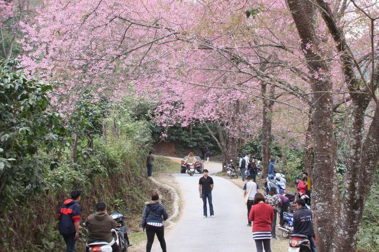 Sakura di Doi Chang, Thailand.