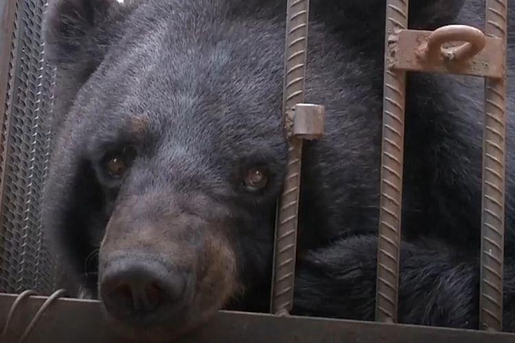 Beruang hitam Asia yang sempat dipelihara Su Yun, warga Yunnan di Cina.