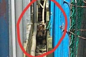 Warga Sebuah Pasar di Riau Ini Dihebohkan dengan Munculnya Harimau Sumatera