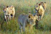 Pemburu Gelap Tewas Dim   angsa Singa, Hanya Tersisa Kepala