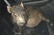 Diikuti Seekor Babi, Seorang Pria Telepon Polisi