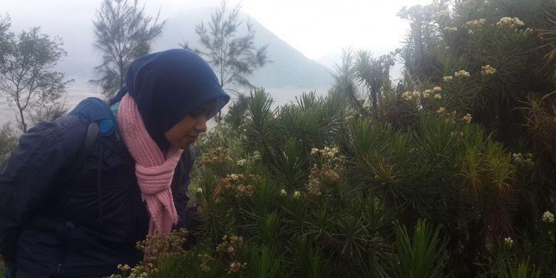 Seorang wisatawan saat mencium edelweis yang tumbuh di lereng Bromo, Desa Ngadisari, Kabupaten Probolinggo, Jawa Timur, Jumat (7/7/2017)
