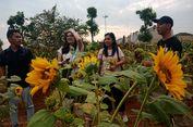 Menikmati Matahari Terbenam di Kebun Bunga Matahari Serpong