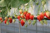 Ini 10 Perkebunan Stroberi Dekat Tokyo!