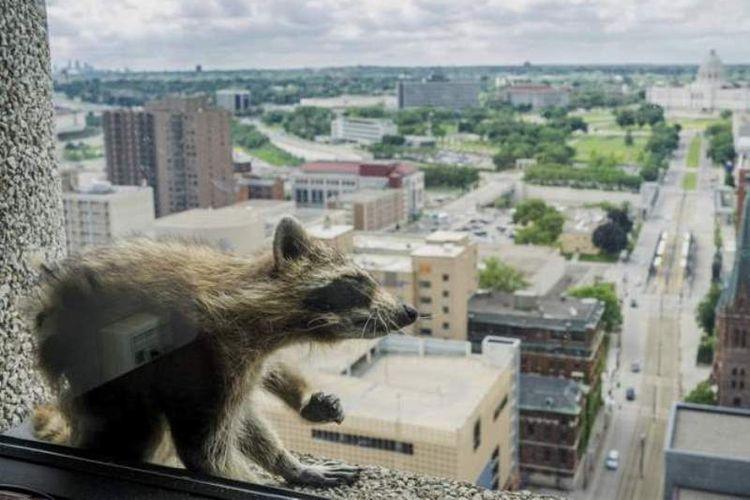 Seekor rakun yang memanjat gedung 25 lantai di Minnesota, AS, menjadi bintang dunia maya sejak Selasa (12/6/2018).