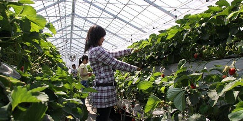 Sayama Berry Land di Kota Sayama