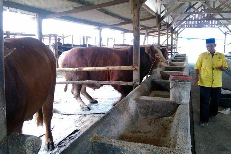 Muhammad Sholeh saat memantau perkembangan sapi yang dipelihara di kandang miliknya.