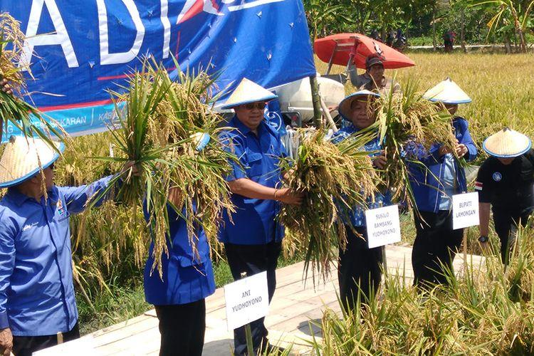Ketua Umum Partai Demokrat Susilo Bambang Yudhoyono (tengah) saat melakukan panen padi secara simbolis di Lamongan.