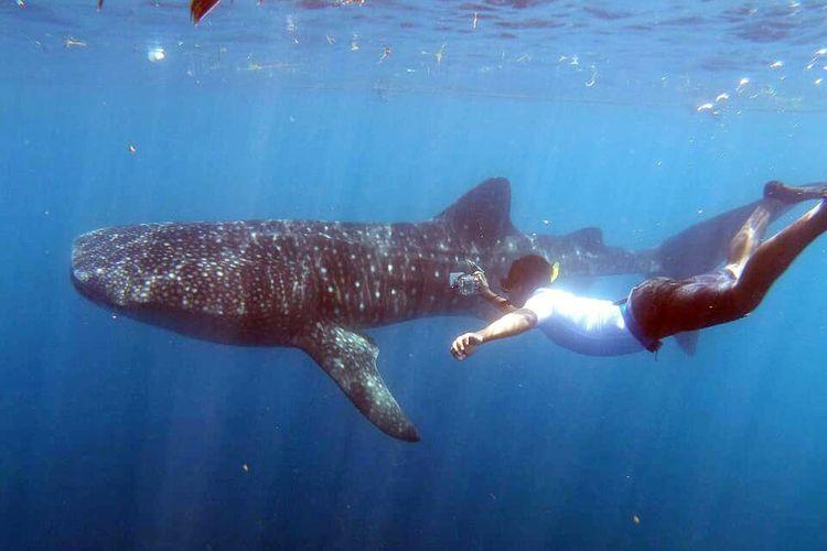 Seorang peneliti dari Balai Pengelolaan Sumberdaya Pesisir dan Laut (BPSPL) Makassar melakukan pemasangan transmitter kepada hiu paus yang baru datang di Botubarani, Gorontalo.
