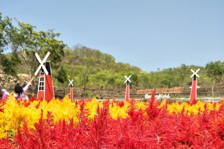 Warna-warni Bunga Celosia di Gersangnya Pegunungan Karst Gunungkidul