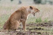 Dilecehkan, Seekor Singa Betina Bunuh Suaminya Sendiri