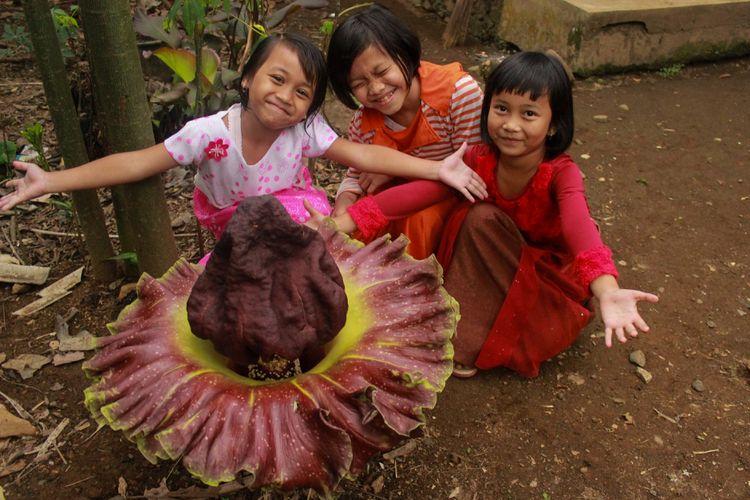 Sejumlah anak berfoto di dekat bunga bangkai (Amorphophallus titanum) yang muncul secara misterius di halaman rumah Sujiroh (42), warga RT 6 RW 2 Desa Brobot, Kecamatan Bojongsari, Purbalingga, Jawa Tengah, Selasa (21/11/2017).
