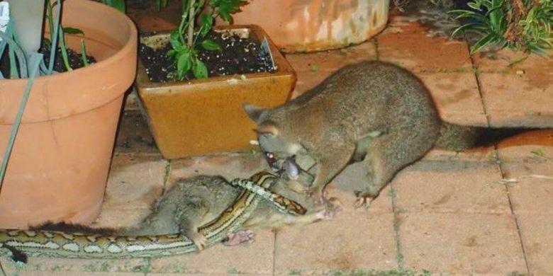 Detik-detik posum berhasil membebaskan bayinya dari lilitan ular piton.