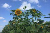 6 Lokasi Taman Wisata Bunga Matahari