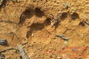 Seekor Harimau Sumatera Lepas Sendiri dari Jeratan Sebelum Dievakuasi Petugas
