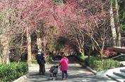 Tak Hanya Jepang, Taman Sakura Juga Bisa Dilihat di Taiwan