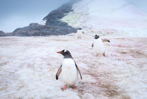 Mikroba Misterius Bikin Es di Kutub Berwarna Merah Muda dan Mencair