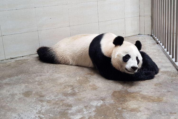 Panda yang akan dipindahkan habitatnya ke Indonesia. Panda ini diambil dari Wolong Panda Base, China.