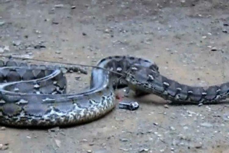 Heboh, ular piton 7 meter lebih kembali menyerang petani di Desa Salubiro Kecamatan Karossa, Mamuju Tengah, Sulawesi Barat, Senin (15/1/2018).