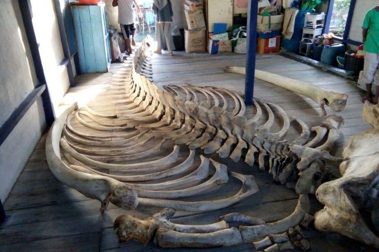 Rangka hewan raksasa yang ditemukan warga Tambelan. Belum diketahui hewan jenis apa, yang jelas rangka ini ditemukan di pingir pantai pulau Betundak