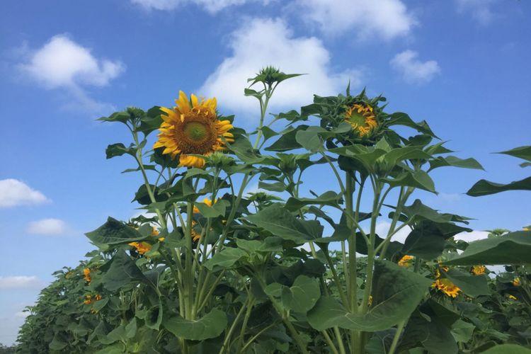 Bunga matahari di taman bunga Dewari, Magelang, Jawa Tengah