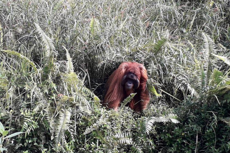 Seekor orangutan di lingkungan hutan konservasi Samboja, Kalimantan Timur, Jumat (31/8/2018).
