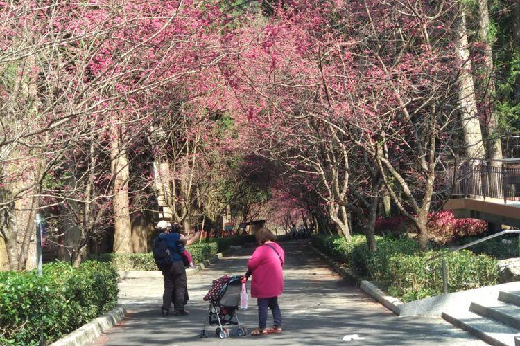 Sakura di Formosan Aboriginal Culture Village, Nantou, Taiwan.