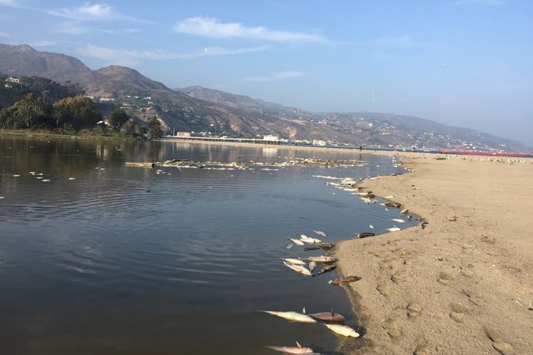 Ribuan ikan mati di pantai Malibu, California, AS, pekan lalu. Petugas setempat menduga kematian ribuan ikan ini karena meningkatnya suhu di AS.