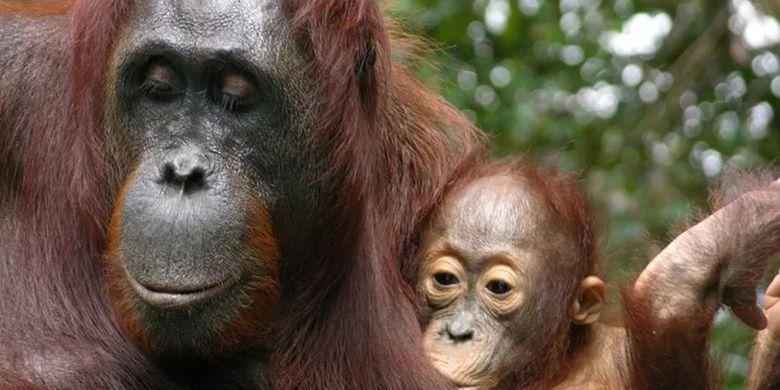 Anak orangutan yang sedang menyusu