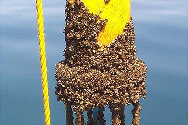 Ilustrasi biofouling oleh kerang