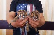 Jual 2 Ekor Anak Kucing Hutan, Seorang Pria Ditangkap Polisi
