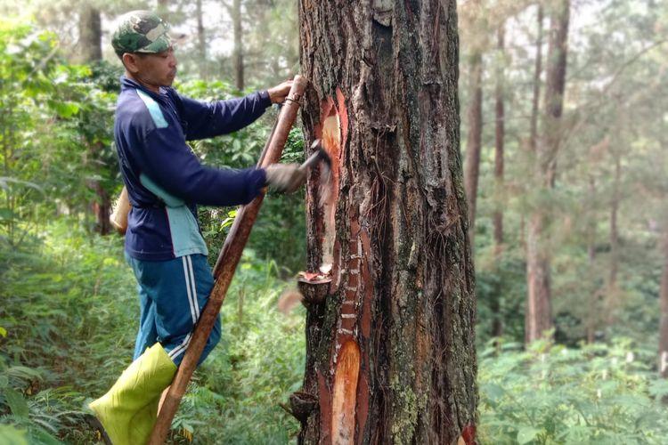 Koiman saat menyadap getah pinus di hutan Desa Tenogo, Kecamatan Paninggaran , Kabupaten Pekalongan, Jateng, Rabu (12/6/2019)