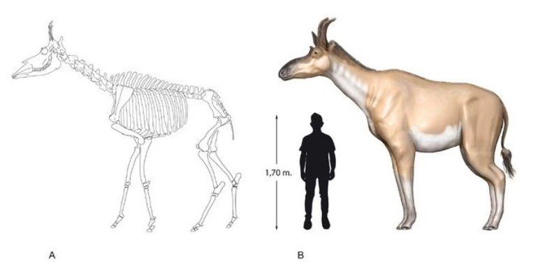Decennatherium rex jantan tingginya sekitar 9 kaki dan beratnya sekitar 2 ton.