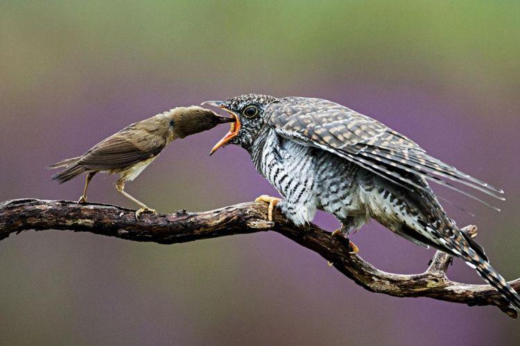 Burung Acrocephalus scirpaceus (kiri) memberi makan anak cuckoo. Dalam 30 hari, anak cuckoo bisa bertumbuh hingga 8 kali lebih besar dari induk angkatnya.