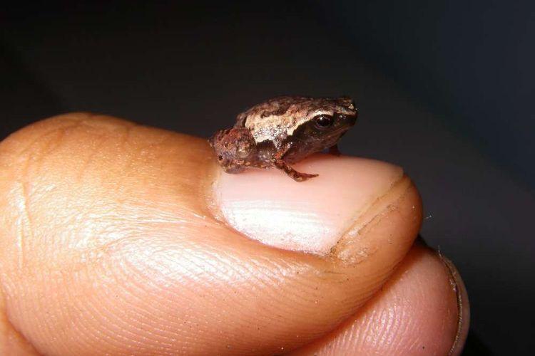 Katak Mini yang ukurannya lebih kecil dari kuku ibu jari orang dewasa ditemukan di Madagaskar.
