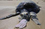 World's Turtle Day: Kisah Pilu Penderitaan Penyu Akibat Ulah Manusia