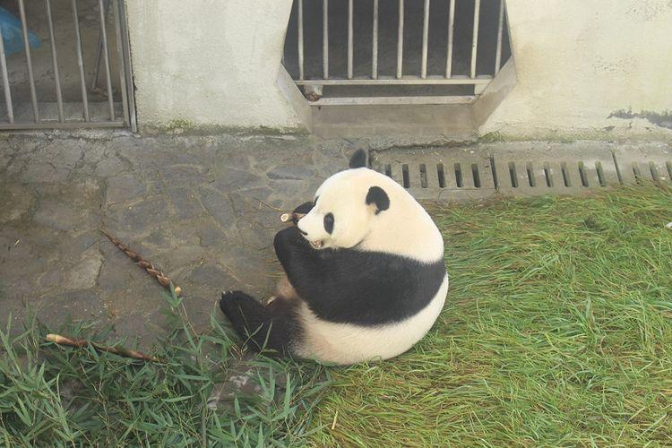 Cai Tao, panda jantan yang akan dikirim ke Indonesia di Wolong Panda Base, China, Rabu (27/9/2017).