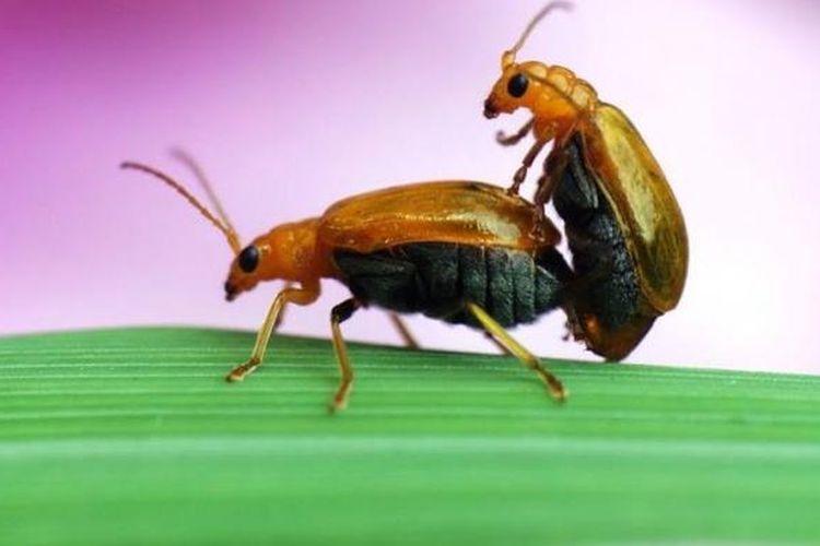 Ilustrasi serangga kawin.