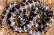 Ahli Temukan Spesies Baru Ular Berbisa di Australia