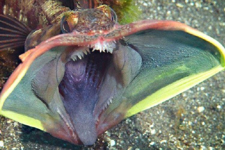 Ikan ini disebut sangat jelek dalam literatur ilmiah