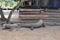 Cegah Komodo Dipancing Berenang, Papan Peringatan Akan Dipasang di Taman Nasional Komodo