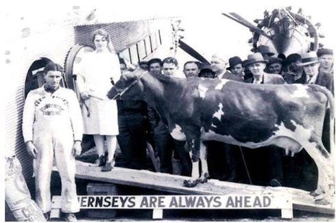 Nellie Jay, Sapi Pertama yang Terbang dan Diperah di Angkasa