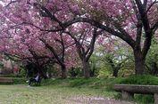 Melancong ke Jepang Bulan Maret Bisa Ni   kmati Dua Musim Sekaligus