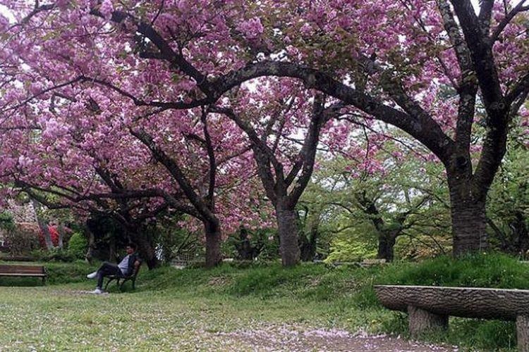Suasana sakura mekar pada musim semi tampak indah, menjadikannya sebagai salah satu unggulan atraksi wisata alam wilayah Tohoku, Jepang. Tampak sakura bermekaran di Taman Hirosaki, Prefektur Aomori.
