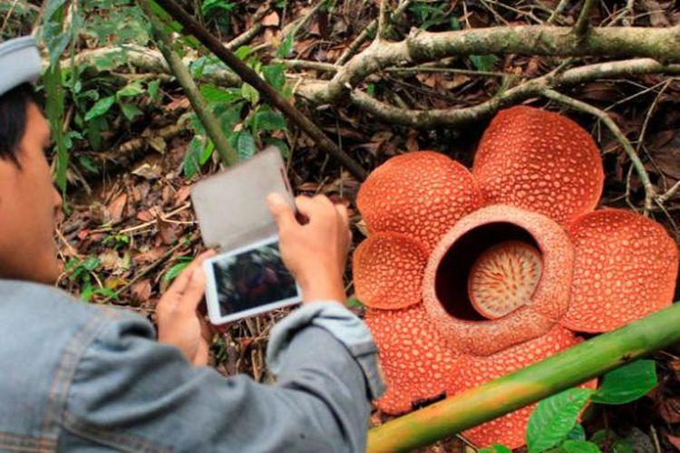 Bunga Rafflesia arnoldii mekar di Hutan Lindung Bukit Daun Register 5, Kabupaten Kepahiang, Bengkulu, Minggu (9/3/2014). Tidak seperti umumnya raflesia dengan lima kelopak, raflesia ini berkelopak enam. Diperlukan komitmen kuat banyak pihak untuk menjaga habitat asli bunga terbesar di dunia ini.