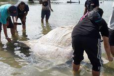 Bangkai Ikan Mola-Mola Kembali Terdampar di Teluk Ambon