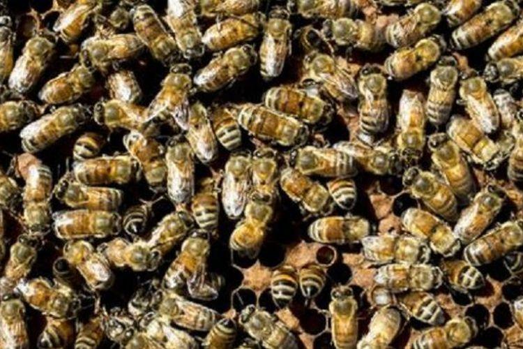 Menurut Reed Booth, populasi lebah madu jenis Afrika telah berkembang semakin agresif dan tinggi di Arizona tahun ini.